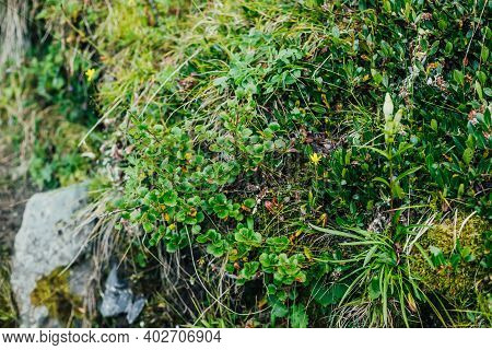 Beautiful Nature Background With Wild Flora Of Highlands Close-up. Natural Backdrop With Green Rich
