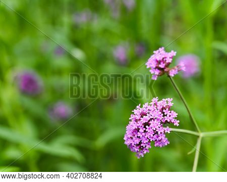 Verbena Bonariensis Flower With Green Blurry Background In The Flower Garden. This Flower Plant Is A