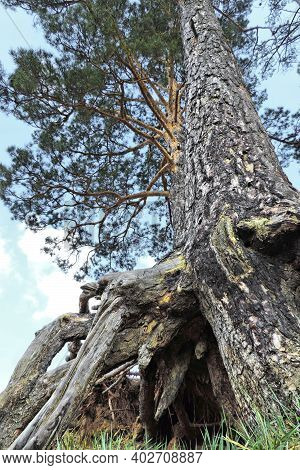 Bottom Of Pine Tree With Huge Naked Roots On Hill Slope. Edge Of Forest. Dried Roots, Thin Branches