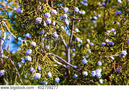 Juniper Tree Berries Taken At A Coniferous Woodland In The Southern California Mountains
