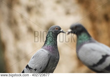Two Pigeons Sitting And One Focused With Blurred Background