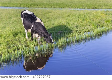 Typical Dutch Holstein Cow Drinking From A Little River In Groningen, Netherlands