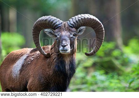 The European Mouflon, Ovis Orientalis Musimon Is The Westernmost And Smallest Sub-species Of Mouflon