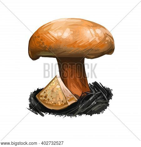 Suillus Tridentinus Orange Larch Bolete. Edible Mushroom Closeup Digital Art Illustration. Boletus C
