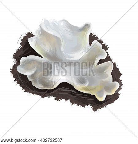 Tremella Fuciformis Fungus, Snow Silver Ear Fungus, White Jelly Mushroom. Edible Mushroom Closeup Di