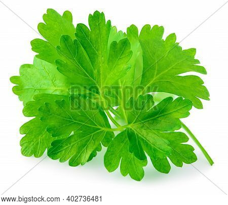 Green Leaves Of Parsley Isolated On White Background, Closeup. Fresh Parsley Herb Macro