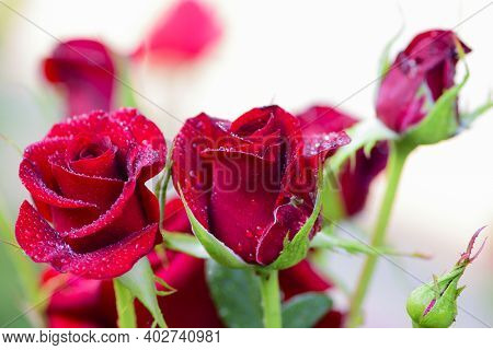 Red Rose Flower Background. Red Roses On A Bush In The Garden. Red Rose Flower With Water Drops Afte