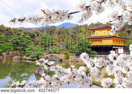 The Golden Pavilion (Kinkaku-ji Temple) and blooming sakura in Rokuon-ji complex (Deer Garden Temple), Kyoto, Japan. UNESCO world heritage site. Japanese hanami festival . Cherry blossoming season