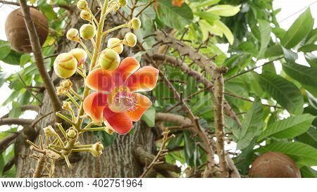 Exotic Flowers And Tree. Dangerous Large Powerful Green Tropical Tree Cannonball Salalanga Blooming