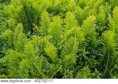 Large Group Of Ostrich Fern Growing In The Wild.