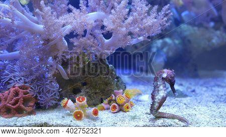 Seahorse Amidst Corals In Aquarium. Close Up Seahorses Swimming Near Wonderful Corals In Clean Aquar