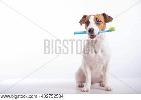 Smart Dog Jack Russell Terrier Holds A Blue Toothbrush In His Mouth On A White Background. Oral Hygi