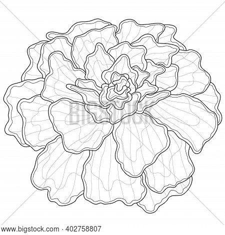 Marigold Flowers.coloring Book Antistress For Children And Adults. Illustration Isolated On White Ba