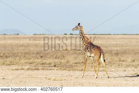 Masai giraffe, also known as the Kilimanjaro giraffe is the largest giraffe species. This animal is walking across the open grasslands of Amboseli National Park, Kenya.