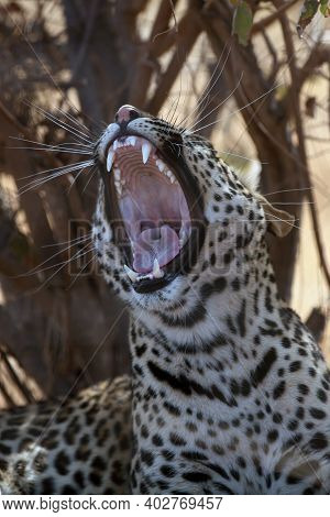 Leopard Jaws, Leopard (panthera Pardus). A Young African Leopard Yawns With Bared Teeth. A Look Into