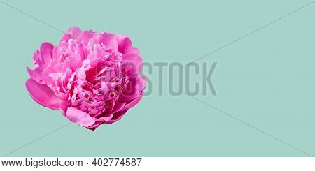 Pink Peony Isolated On A Light Blue Background. Rosy Peony Head Flower. Floral Pattern.