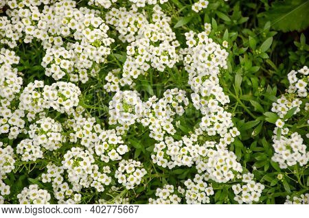 Delicate White Flowers Of Lobularia In Summer Garden. Photo Of A Beautiful Floral Background