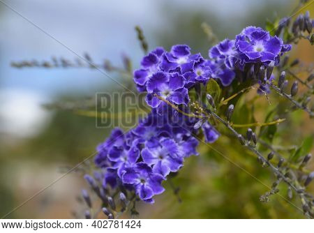 Duranta Erecta Also Known As Sky Flower,pigeon Berry Or Golden Dewdrop In The Garden Of Tenerife,can
