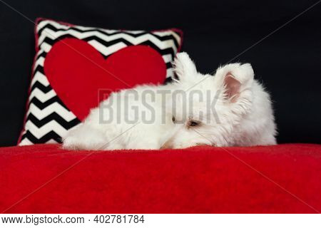 White Mix Breed Dog With Red And Black Background
