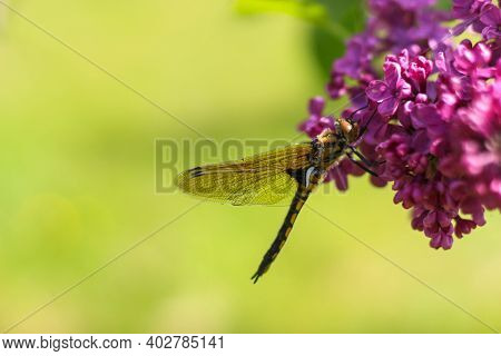 Large Yellow Dragonfly With A Black Back And Transparent Wings Sits Close-up On A Branch Of Lilac. A