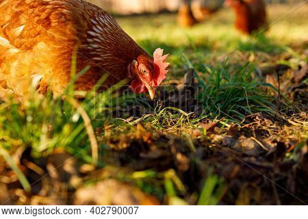 Free Range Organic Chickens Poultry In A Country Farm On A Winter Morning, Germany