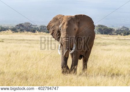 African bull elephant, loxodonta africana, walking through the lush grasslands of Amboseli National Park, Kenya.