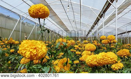 Field Of Growing Bright Orange Blooming Flowers. Tagetes Erecta Or Marigold Plantation. In Mexico Ta