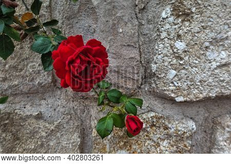 A Bright Scarlet Rose Flower And A Long-stemmed Bud With Green Leaves. The Background Is A Stone Wal