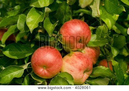 Red Organic Apples