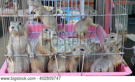 Unhappy Cute Prairie Dog Cub Suffering, Cage On Market. Pets For Sale. Depressed Groundhog Asking Fo