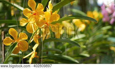 Blurred Macro Close Up, Colorful Tropical Orchid Flower In Spring Garden, Tender Petals Among Sunny