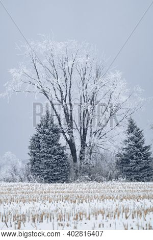 Rime Ice Covers A Large Tree In Rural Minnesota