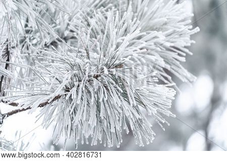 Pine Needles Covered In Rime Ice Due To Freezing Morning Fog, In Minnesota