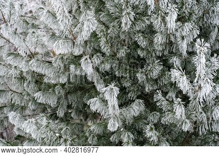 Pine Needles Covered In Rime Ice In Minnesota