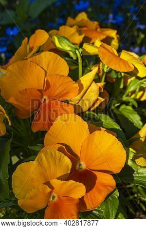 Orange Flowers On Flowerbed In City Park On Sunny Summer Day. Violka Vittroka Or Garden Pansies (vio