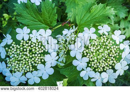 Viburnum Vulgaris Or Viburnum Red (opulus) Is Deciduous Woody Plant, Species Of Genus Viburnum Of Ad