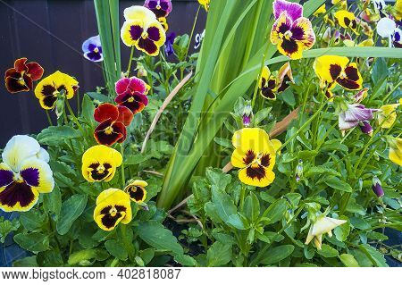 Multicolored Flowers On Flowerbed In City Park On Sunny Summer Day. Violka Vittroka Or Garden Pansie
