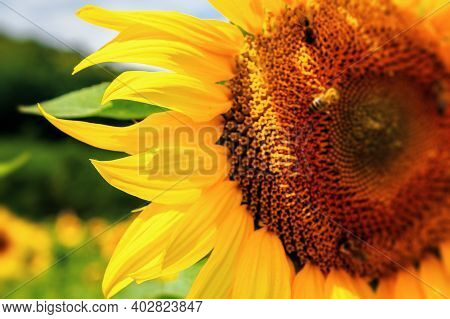Sunflower Closeup In The Field. Beautiful Agricultural Scenery In Summertime. Clouds Above The Horiz