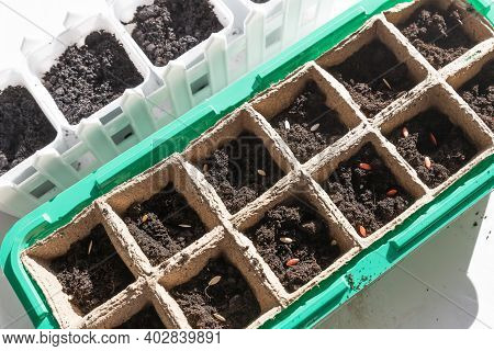 Black Hole Trays For Agricultural Seedlings.the Spring Planting. Early Seedling , Grown From Seeds I