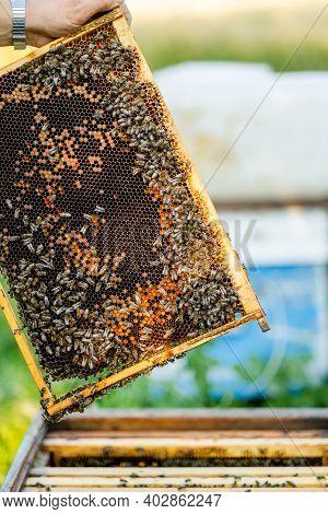 The Beekeeper Opens The Hive, The Bees Checks, Checks Honey. Beekeeper Exploring Honeycomb.