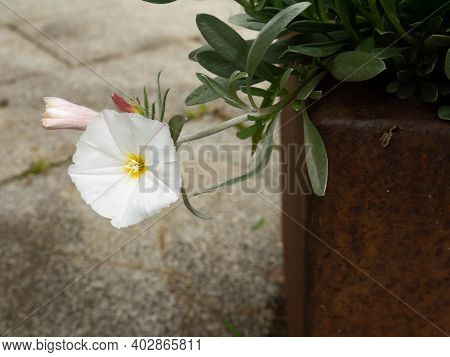 Convolvulus Cneorum, The Silverbush Or Shrubby Bindweed Flowering Plant In The Rusty Pot