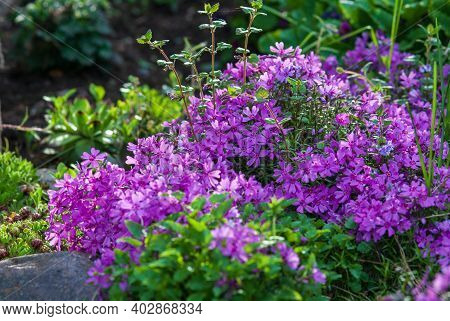 Moss Phlox Plant Blooming In The Garden ( Moss-pink, Mountain Phlox)