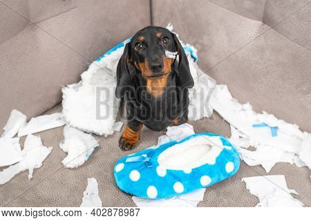 Mess Dachshund Puppy Was Left At Home Alone And Started Making A Mess. Pet Tore Up Furniture And Che