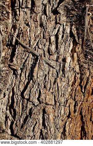 Grey Brown Aging Corky Fissured Bark Of Mojave Spiketree, Yucca Brevifolia, Asparagaceae, Native Per
