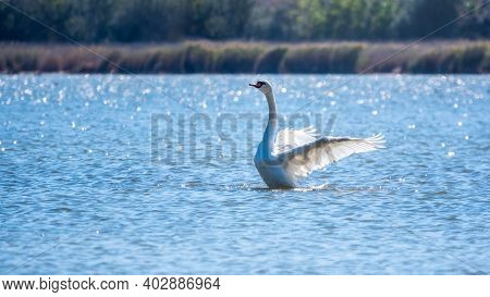 Graceful White Swan Swimming In The Lake And Flaps Its Wings On The Water. White Swan Is Flapping It