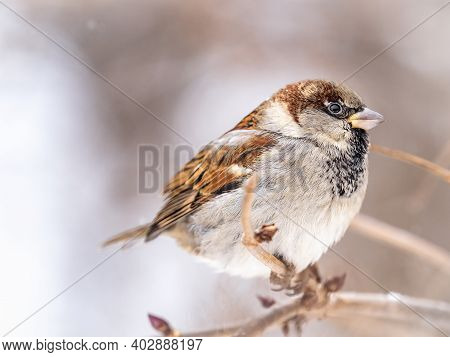 Sparrow Sits On A Branch Without Leaves. Sparrow On A Branch In The Autumn Or Winter