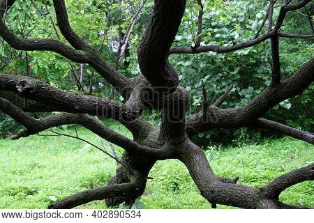 Intertwined Tree Branches, Green Tree Leaves. Beautiful Nature Background.
