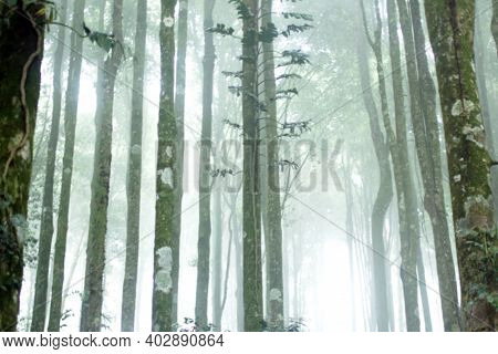 Blurry Background Of Misty Morning Light In The Forest. Mist Fog In The Woods. Green Trees On White