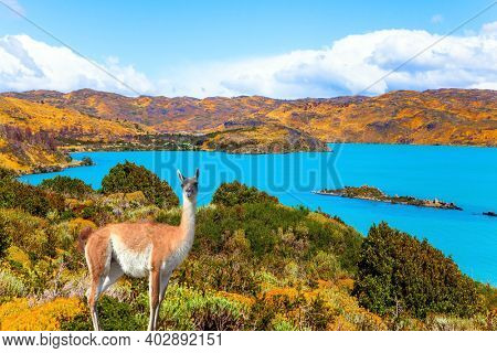 Magnificent guanaco with thick reddish brown hair grazes on the shore. Huge lake with bright azure water from melting glaciers. Picturesque lake Pehoe in the Patagonian Andes. Travel to Chile
