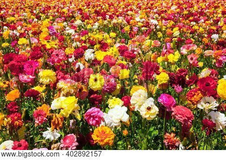Gorgeous multicolor floral carpet. The field of luxurious spring buttercups. Beautiful sunny spring day. The southern border of Israel, a kibbutz field. The concept of botanical, and photo tourism